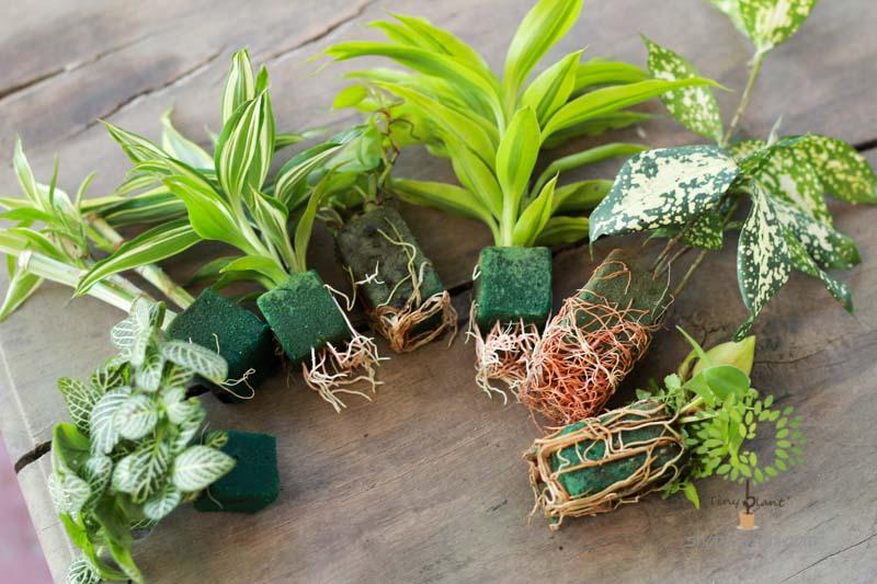 Cây Cảnh Mini - Tiny Plant Cây Cảnh Mini