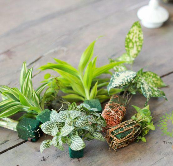 Cây Terrarium Đẹp - Tiny Plant