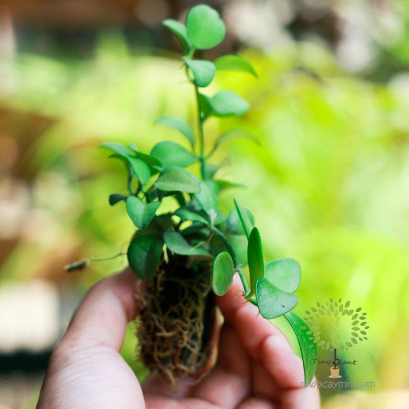 Cây Terrarium - Tiny Plant Cây Terrarium