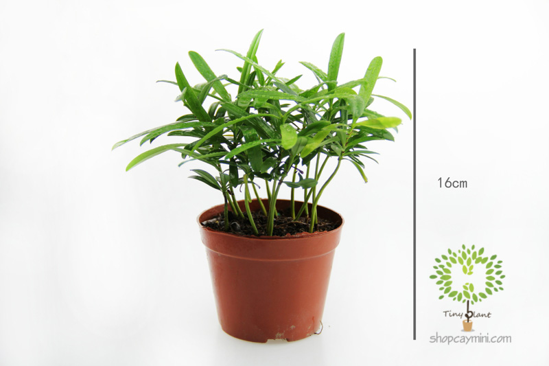 Tùng May Mắn - Tùng Phát Tài - Tiny Plant Tùng Phát Tài