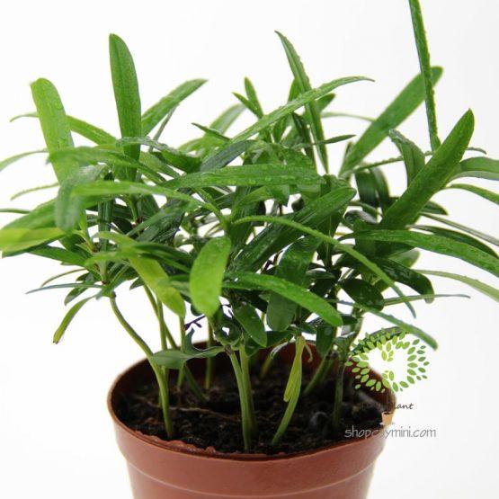 Tùng May Mắn - Tùng Phát Tài - Tiny Plant