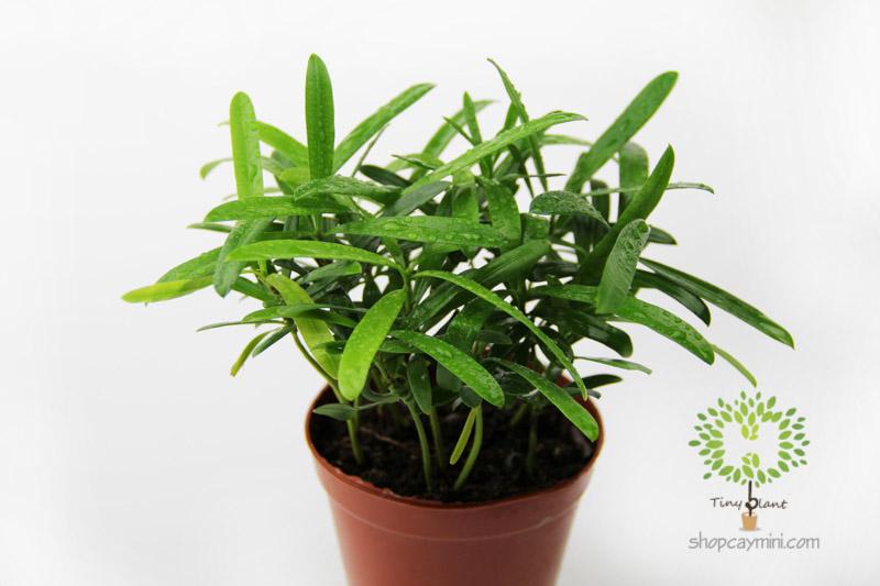 Tùng May Mắn - Tùng Phát Tài - Tiny Plant Những điều chưa biết khi chọn chậu cây cảnh mini dựa trên cung hoàng đạo?