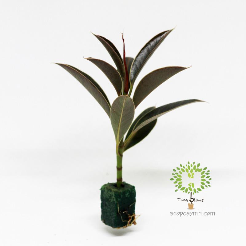 Da Nhật Mini - Tiny Plant Đa Búp Đỏ Mini