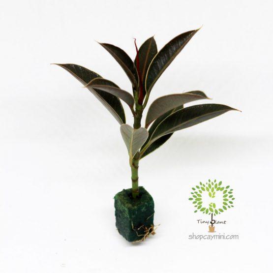 Da Nhật Mini - Tiny Plant