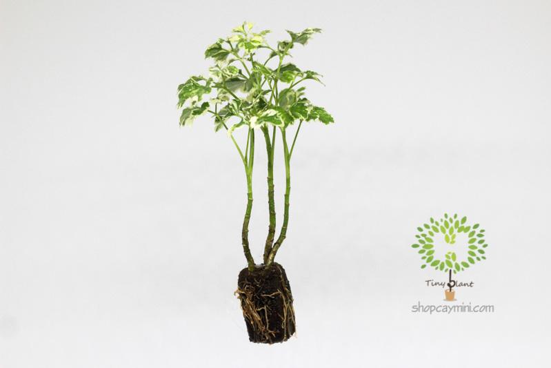 Đinh Lăng Cẩm Thạch Mini - Tiny Plant Đinh Lăng Cẩm Thạch