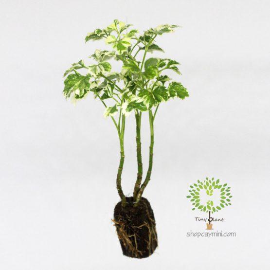 Đinh Lăng Cẩm Thạch Mini - Tiny Plant