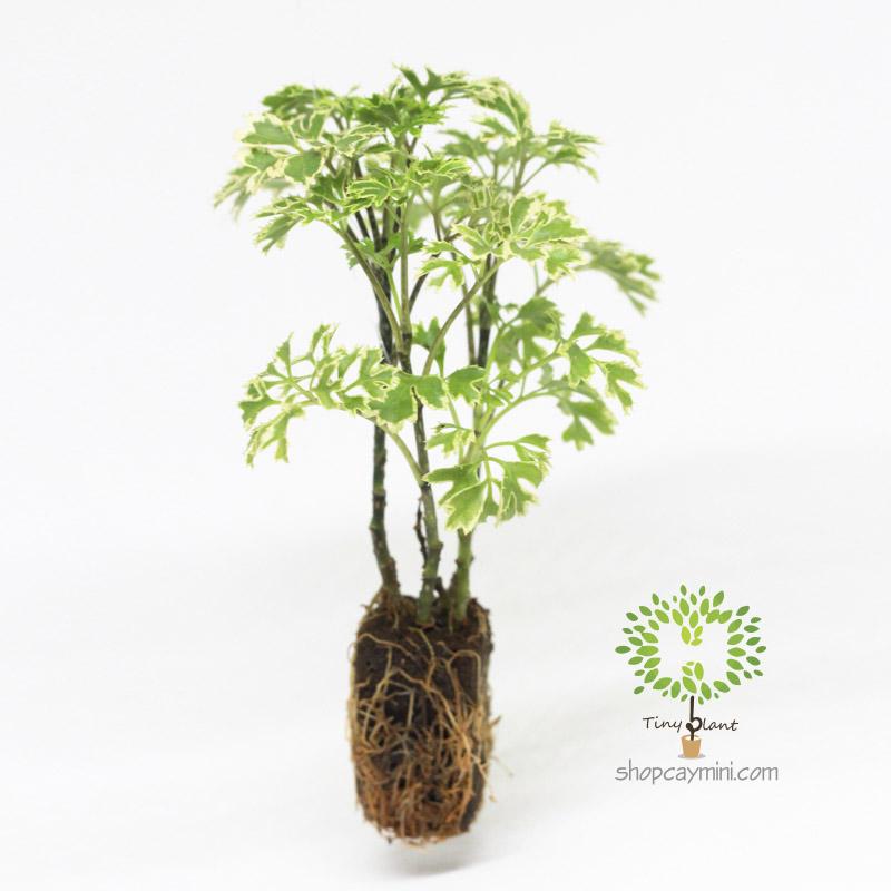 Đinh Lăng Lá Nhuyễn - Tiny Plant Đinh Lăng Lá Nhuyễn
