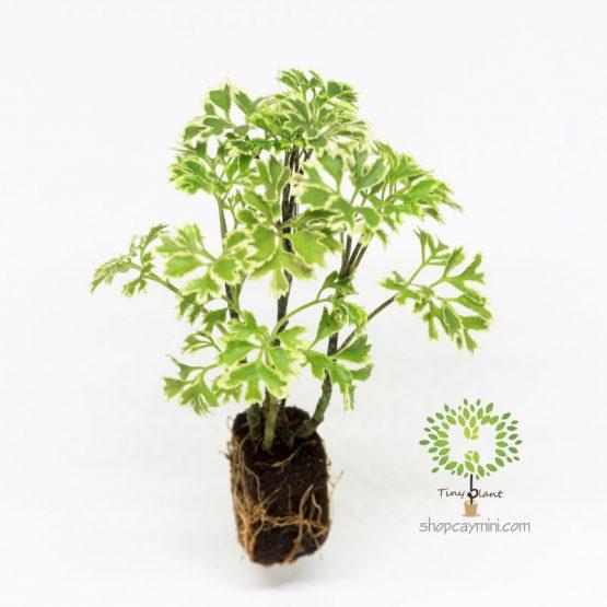 Đinh Lăng Lá Nhuyễn - Tiny Plant