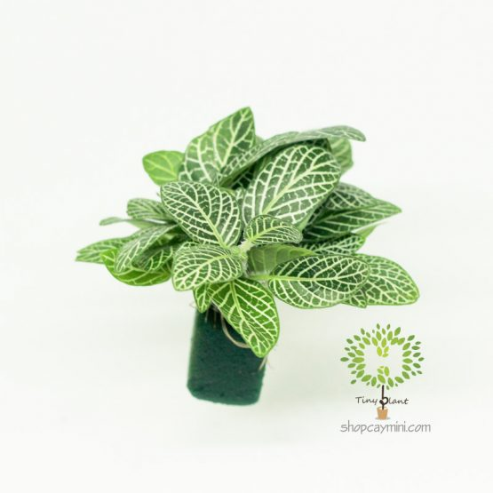 Lá May Mắn - Fittonia - Gấm
