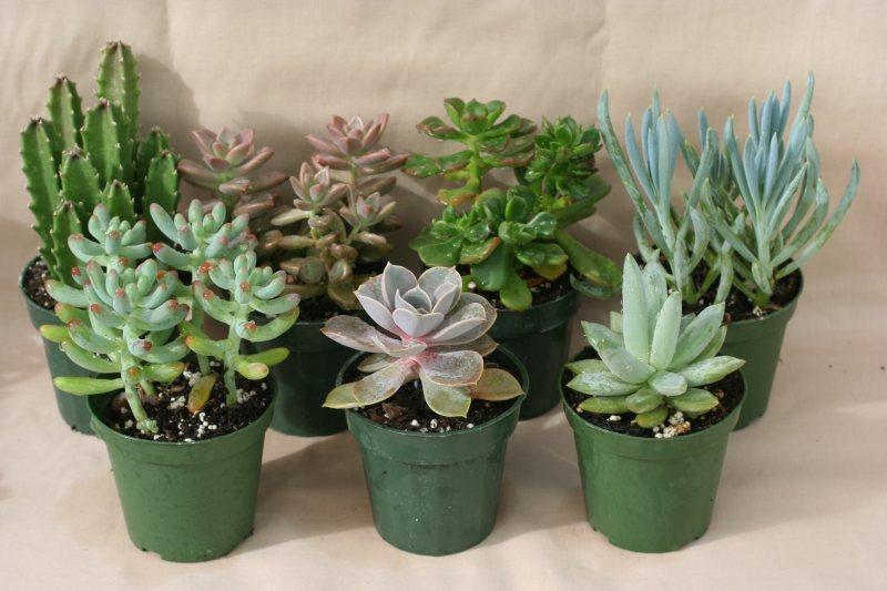Sen đá - Cây Terrarium - Tiny Plant Cây Terrarium