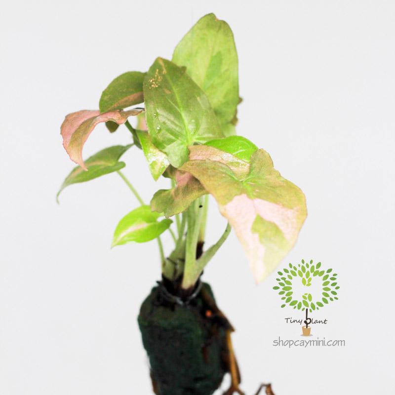 Trầu Bà Hồng Nhật Bản - Tiny Plant Trầu Bà Hồng Mini
