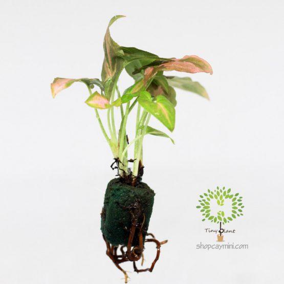 Trầu Bà Hồng Nhật Bản - Tiny Plant