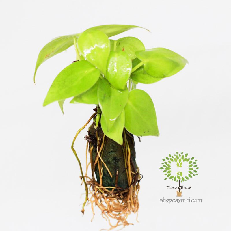 Trầu Bà Lá Tim Mini - Tiny Plant Trầu Bà Tim Mini