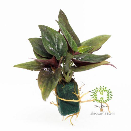 Trầu Bà Tím Mini - Tiny Plant