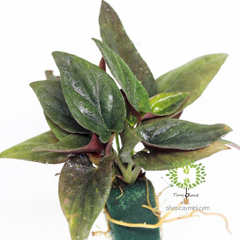 Trầu Bà Tím Mini - Tiny Plant Trầu Bà Tím Mini