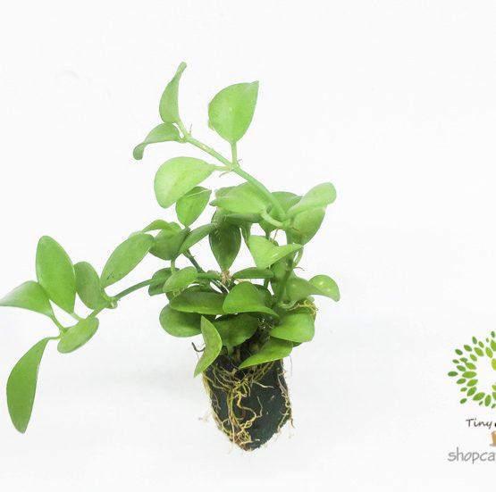 Cây Đô La Mini - Tiny Plant
