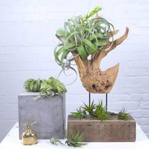 Cây Không Khí - Tiny Plant