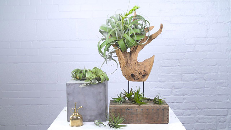 Cây Không Khí - Tiny Plant Cây Không Khí