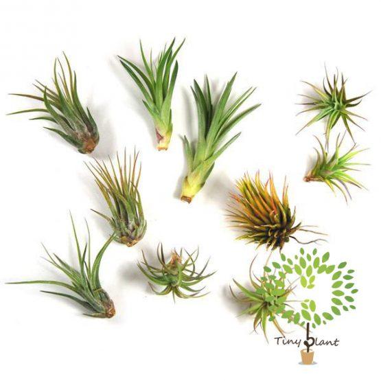 Cây Không Khí Đẹp - Tiny Plant