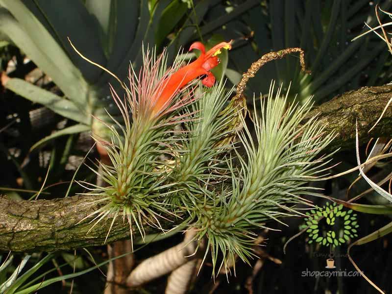 Cây Không Khí Hồ Ly Funckiana - Tiny Plant Cây Không Khí