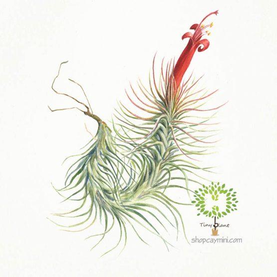 Cây Không Khí Hồ Ly Funckiana - Tiny Plant
