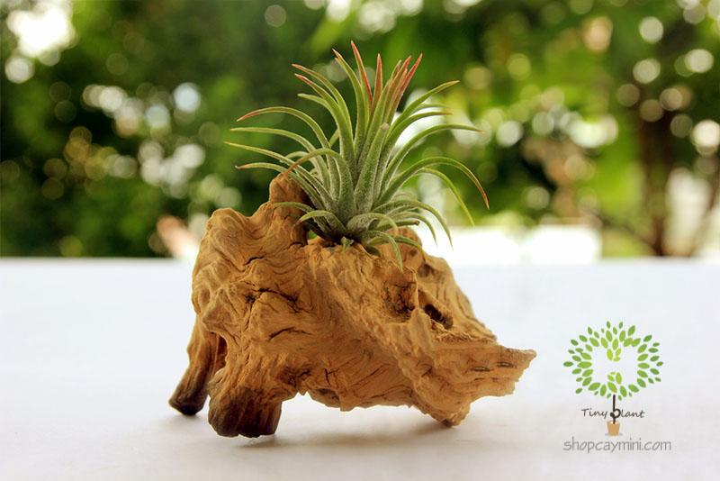 Cây Không Khí Ionantha - Tiny Plant Cây Không Khí