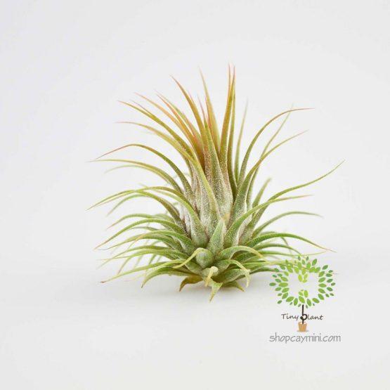 Cây Không Khí Ionantha - Tiny Plant