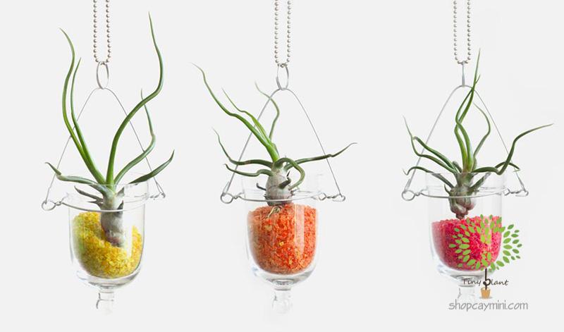 Cây Không Khí Nhân Sâm - Bulbosa - Tiny Plant Cây Không Khí