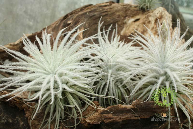 Cây Không Khí Bông Tuyết Tectorum - Tiny Plant Cây Không Khí