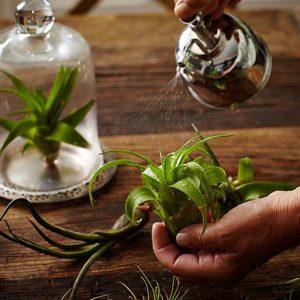 Chăm Sóc Cây Không Khí - Tiny Plant