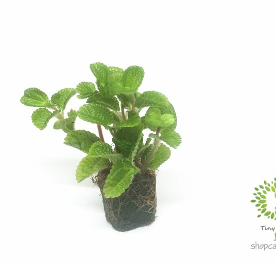 Lá Bạc Hà Mini - Tiny Plant