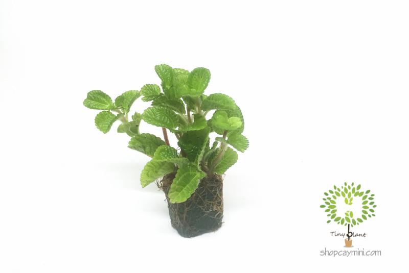 Lá Bạc Hà Mini - Tiny Plant Lá Bạc Hà